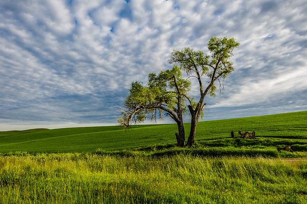 Lone Tree in Wheat Field