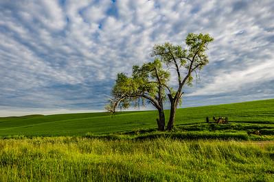Lone Tree on Wheat Field