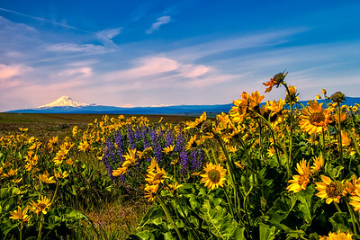 Balsamroot and Lupine with Mt Adams & Rainier
