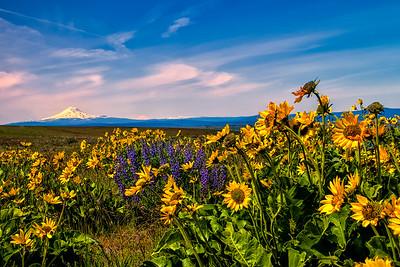 Balsamroot and Lupine with Mt Adams & Rainier