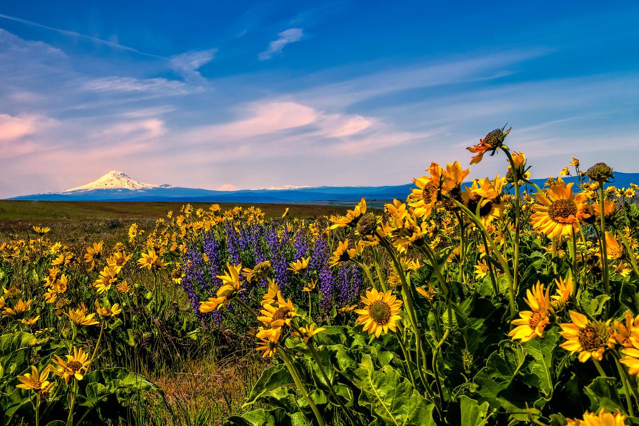 Balsamroot and Lupine with Mt Rainier