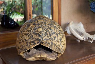 Leopard tortoise shell...
