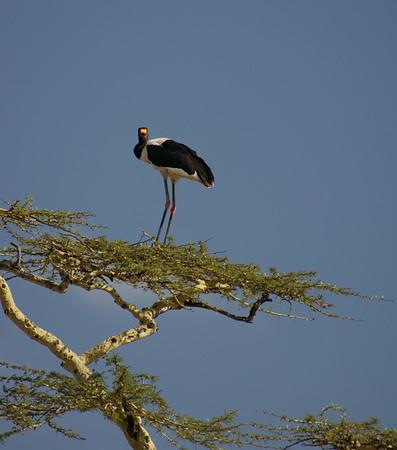 Elegant Saddle Billed Stork