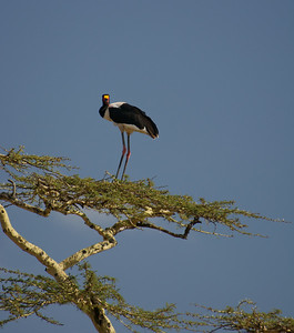 Elegant Saddle Billed Stork