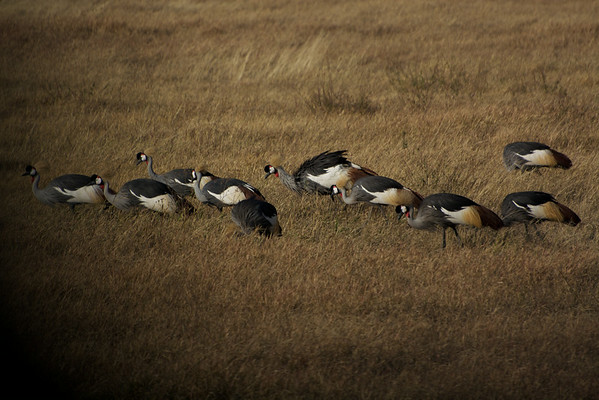 So many Crowned Cranes that we could not even estimate the number.