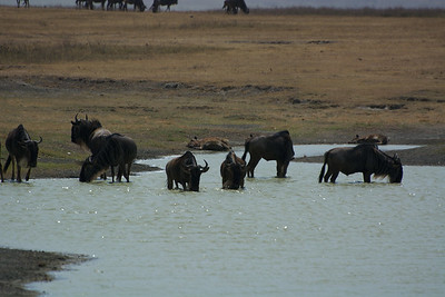 Guess the Wildebeest are more thirsty than concerned. The End