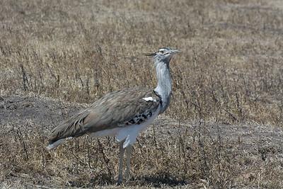 Kori Bustard -  I love wind in my feathers.