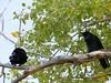 Ravens Guarding the Kit Carson Memorial Cemetery