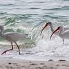Parading White Ibis