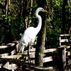 Great Egret on Corkscrew board walk