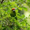 Red-breasted Parakeet on Ulva Island