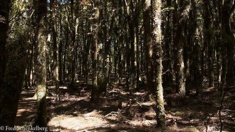 Dense forest on Harwood Hole track