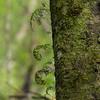 tree ferns (Ulva Island)
