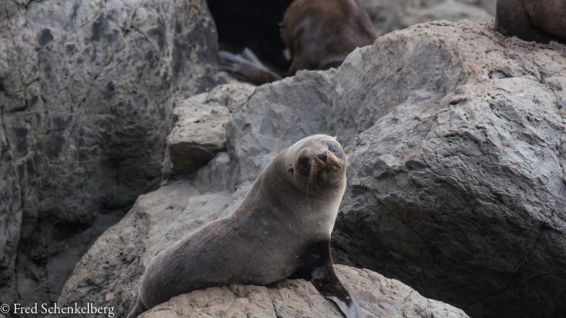 Seal colony near Cape Palliser