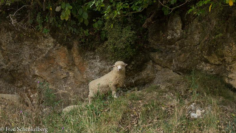 Lamb at the farm at Ruakokoputuna Cave