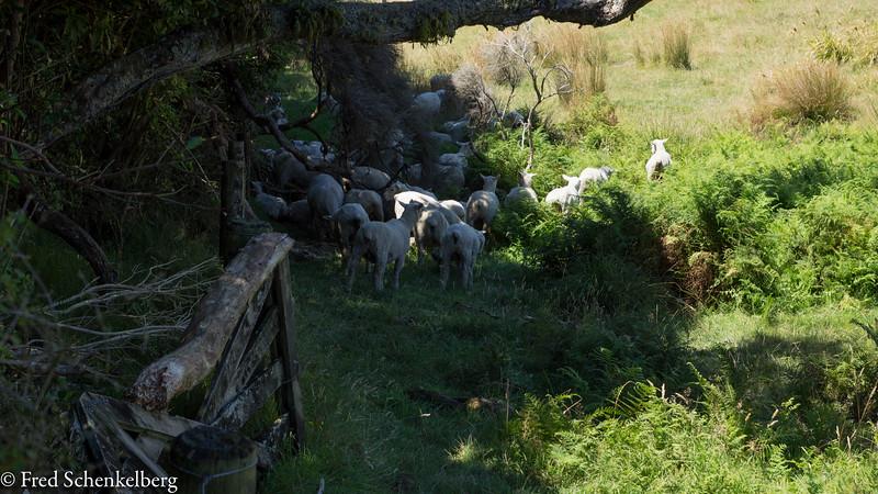 Sheep on track to Wharariki Beach