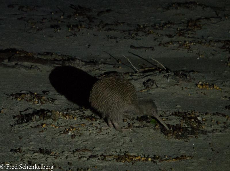 Kiwi scrounging food on beach