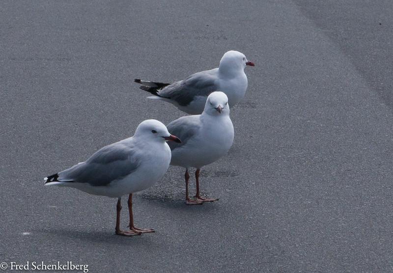 Seagulls at Mangawhai