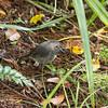 New Zealand Robin on Ulva Island