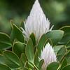 Protea @ Kirstenbosch National Botanical Gardens