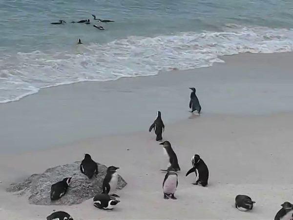 Penguins @ Boulders Beach