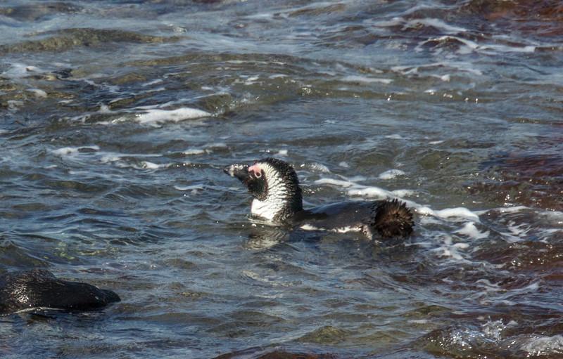 Stony Point Penguin Colony in Betty's Bay
