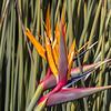 Bird of Paradise @ Kirstenbosch National Botanical Gardens