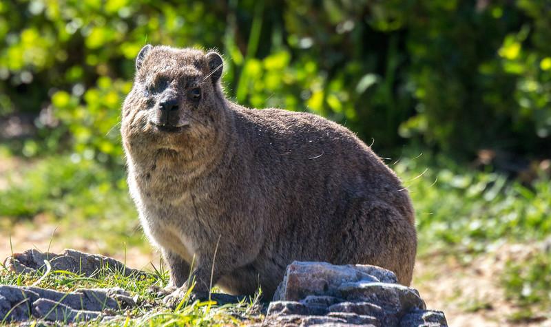 Dassie (Rock hyrax) on the Cliff Walk in Hermanus