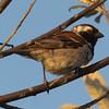 Cape sparrow