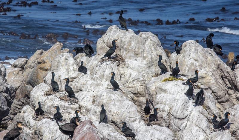 Cormorants at Stony Point Penguin Colony in Betty's Bay