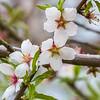 Cherries in bloom at Hidden Valley wine estate