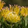 Yellow Pincushion Protea @ Kirstenbosch National Botanical Gardens
