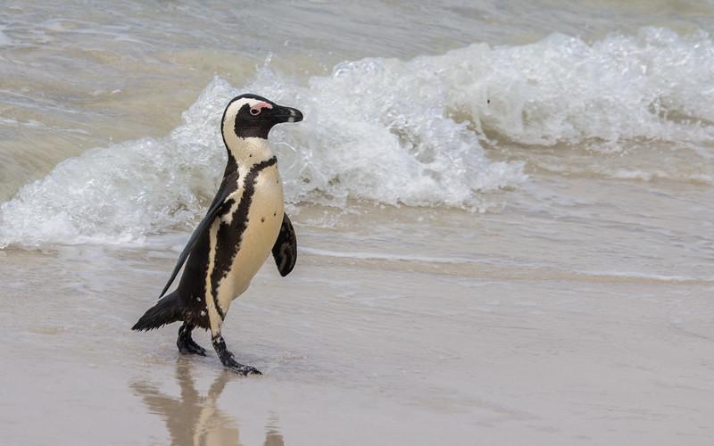 Penguin @ Boulders Beach