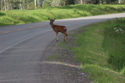 The deer wasted no time in getting across the highway. We were about 50 kilometer south of Smithers,BC, Canada.