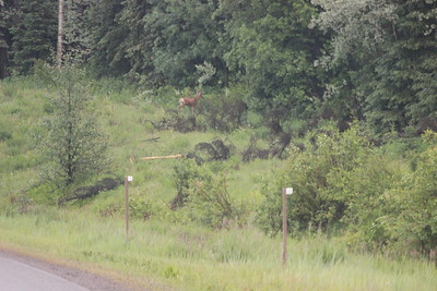 Our first deer sighting, species unknown to us.