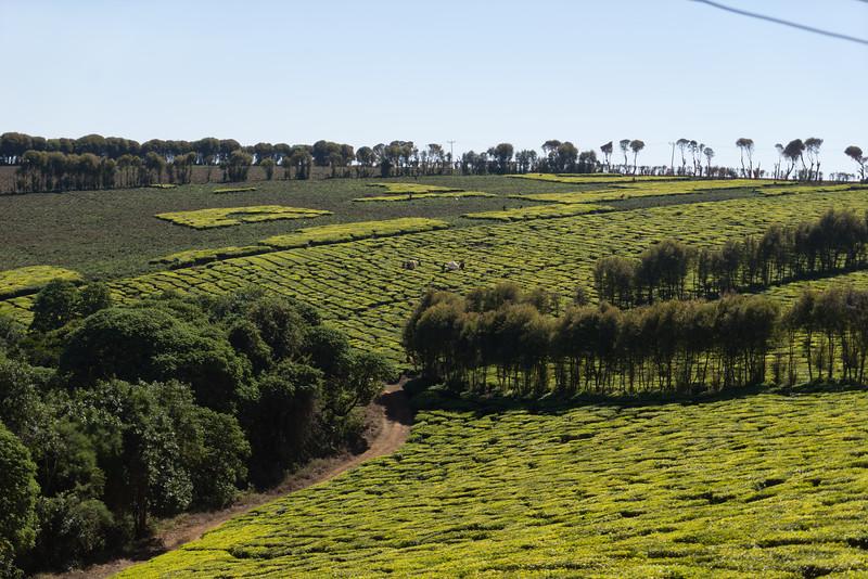 Harvesting tea near the tea factory