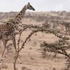 Giraffe food