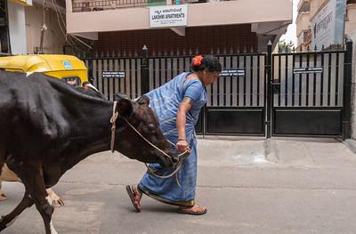 a woman walks her cows through a street off 8th cross, Sampige Rd, Bangalore