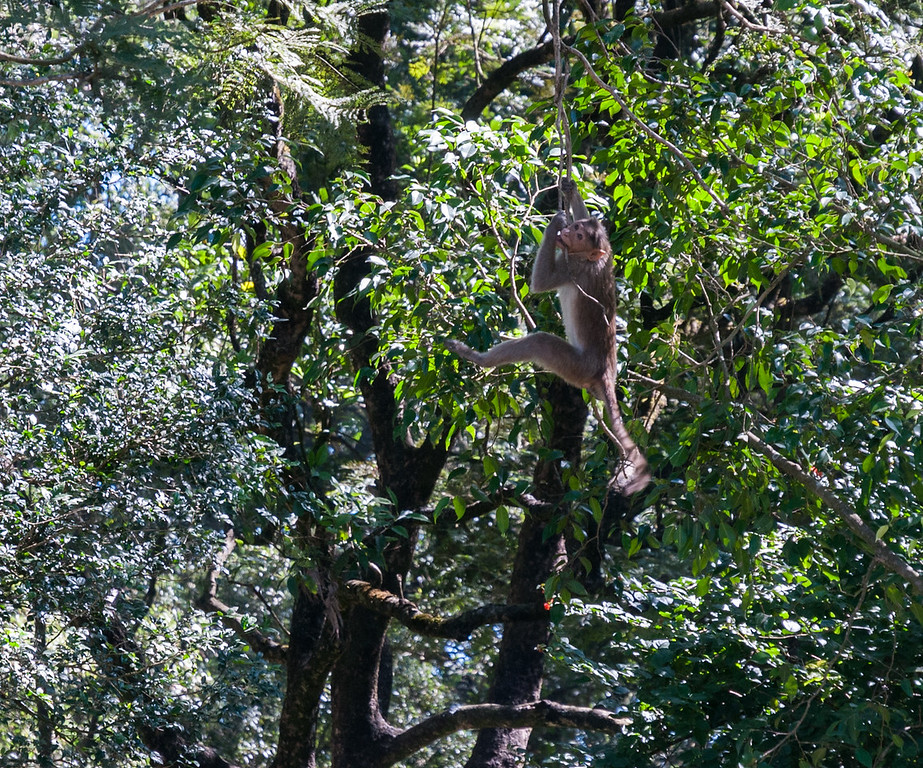 Monkeys at Nandi Hills, outside Bangalore.