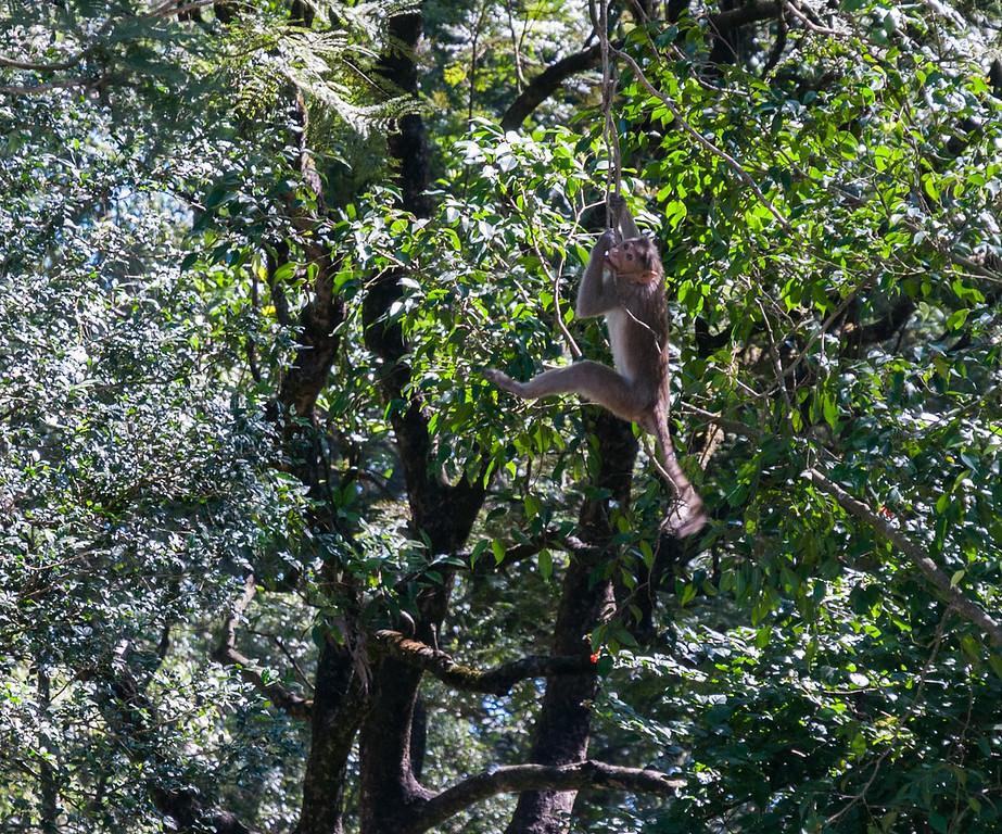 Monkeys at Nandi Hills, outside Bangalore.