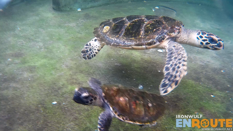 Two of the rescued turtles at the center