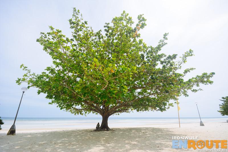 A magtalisay tree at the beach