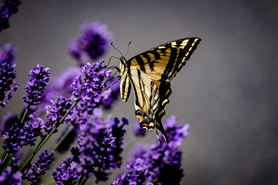 Butterfly and Lavendar June 2015