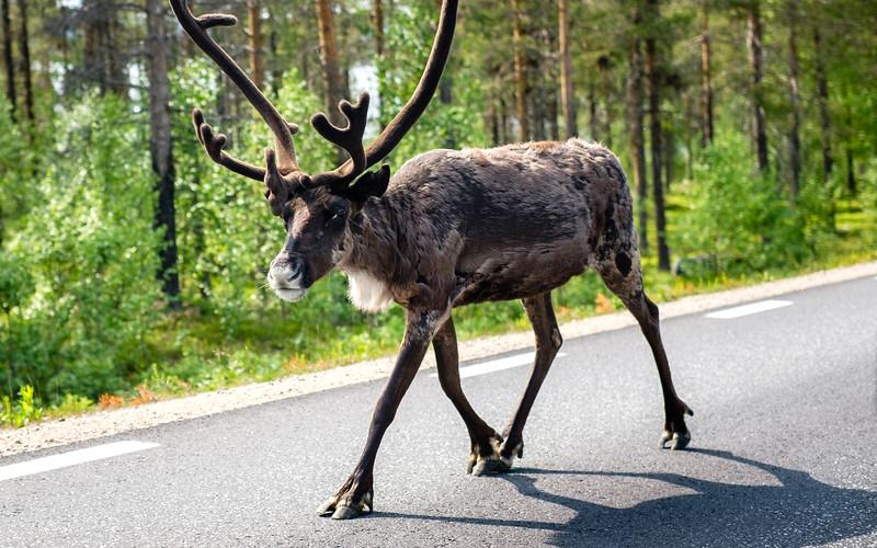 Reindeer Commute