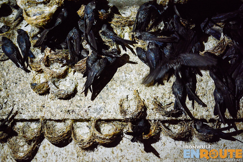 They count each of the nest to get an estimate number of swiftlets living in their basement