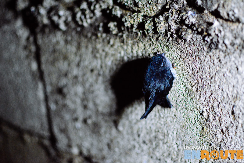 A young swiftlet clinging on the wall