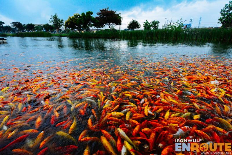 Visit the koi pond in Nuvali