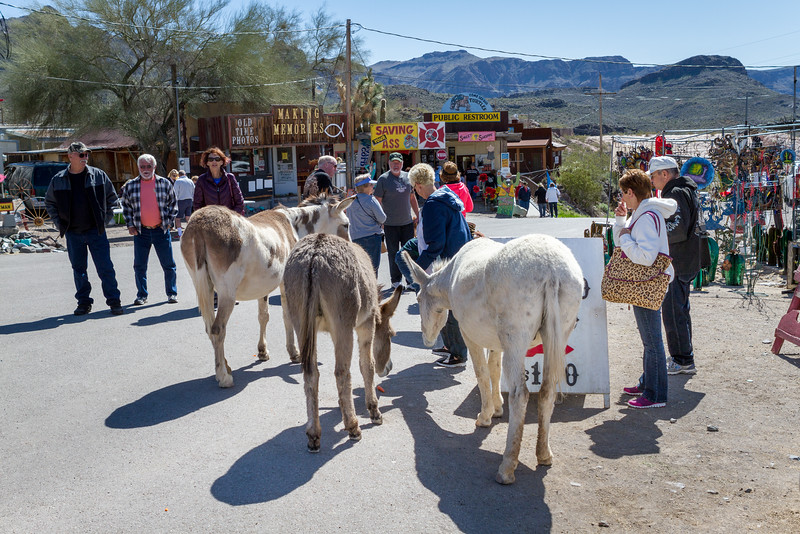 The wild burros come out of the nearby hills into town everyday. Tourists can buy burro food for a dollar to feed them. They are not shy at all as you can see.