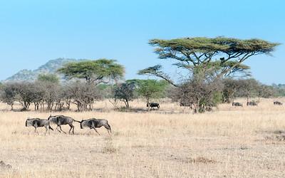 Wildebeest (and baboon in tree) - Serengeti N.P., Tanzania.
