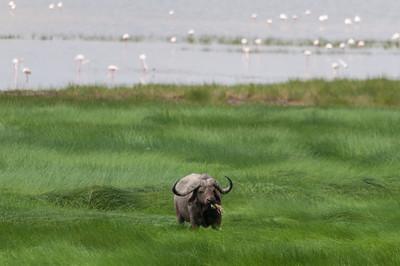 Cape Buffalo, Lake Manyara N.P., Tanzania.